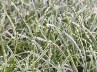 Wiese bei Frost