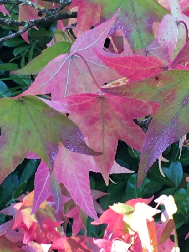 Liquid Amber im Schatten mit pinken Blättern