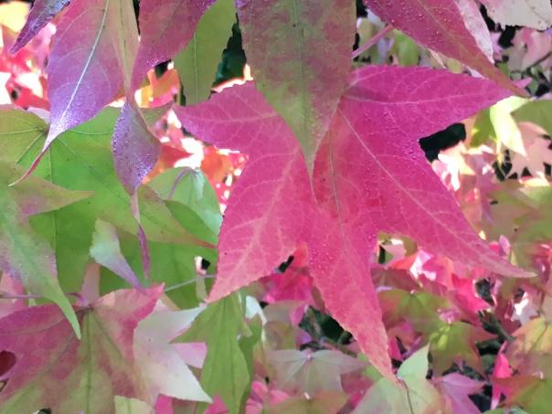 Liquid Amber im Schatten mit pinken Seesternblättern