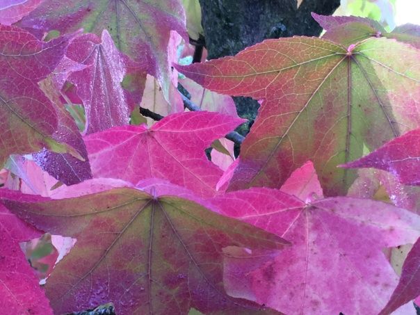 Liquid Amber mit pinken Seesternblättern