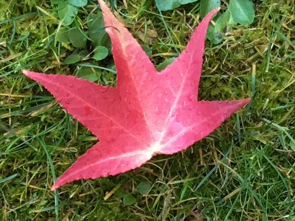 Liquid Amber Seesternblatt auf der Wiese