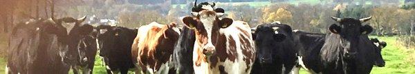Kühe in Imgenbroich