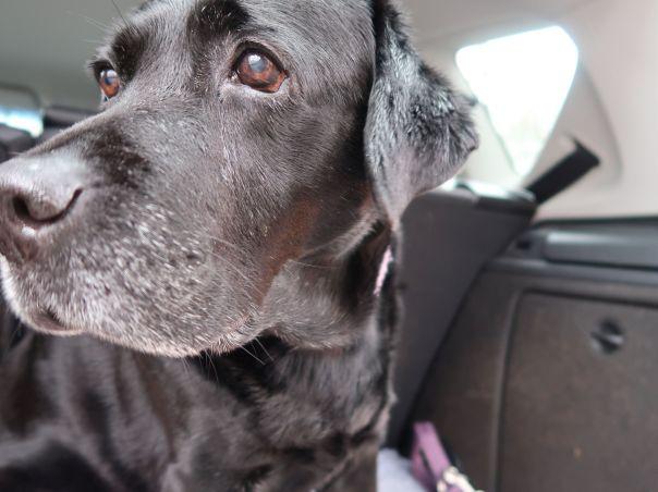 Schwarzer Labrador alt Milla