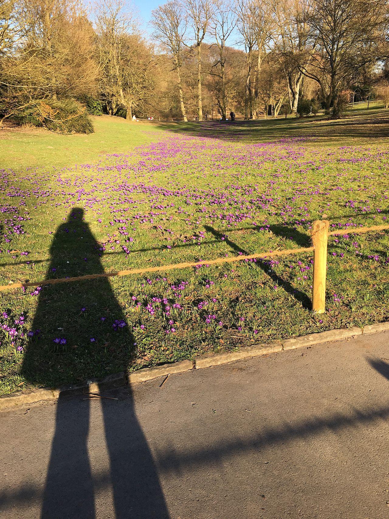 Krokuswiese und Mensch im Schatten