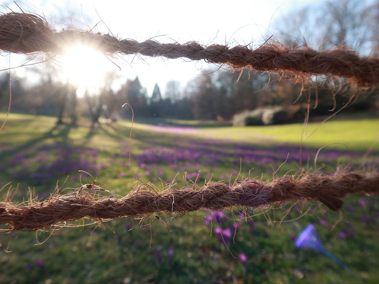 Krokuswiese zu sehen durch zwei Seile